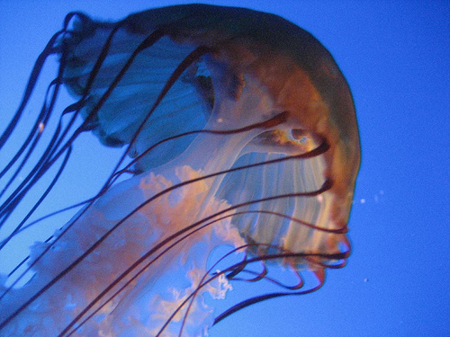 Different Jellyfish picture