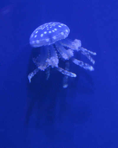 Jellyfish Print picture