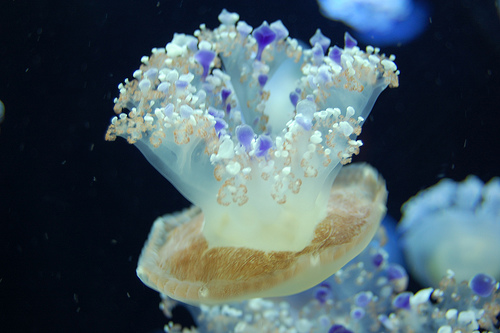 Pet Jellyfish picture