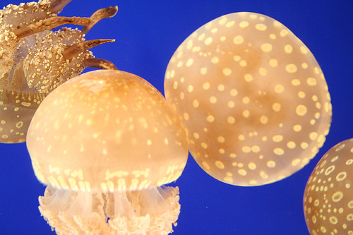New England Jellyfish picture
