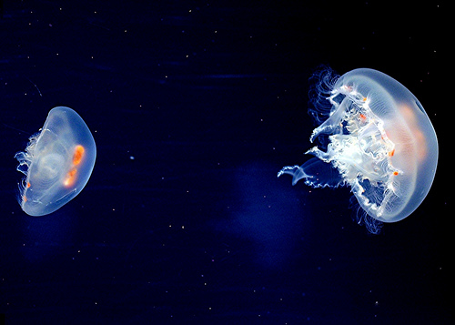 Jellyfish Information picture