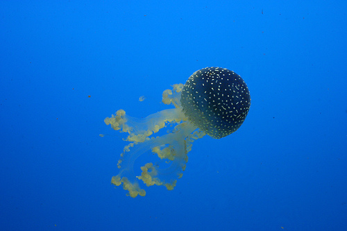 Jellyfish Blooms picture