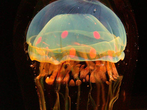 Jellyfish Facts picture