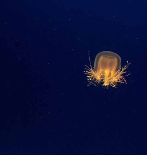 Sea Wasp Jellyfish picture
