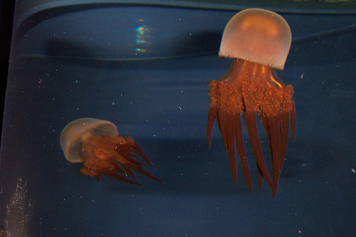 Glass Jellyfish picture