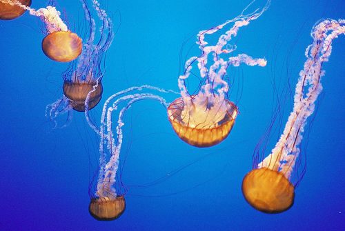 Sea Nettle Jellyfish picture