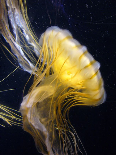 Lion's Mane Jellyfish Sting picture