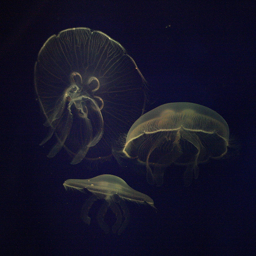 True Jellyfish picture